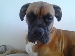 Danha, chien Boxer