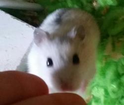 Daniet, rongeur Hamster