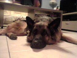Danka, chien Berger allemand