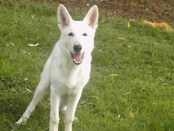 Dann, chien Berger blanc suisse