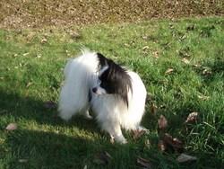 Danova Des Collines Sacrees, chien Épagneul nain continental