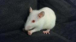 Dante, rongeur Rat