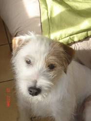 Dany Maccoy Of Shana Dreams , chien Parson Russell Terrier