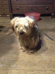 Daphné, chien Yorkshire Terrier