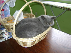 Daphné, chat Persan