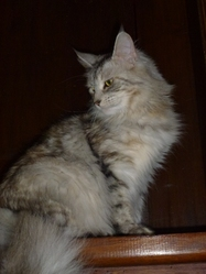 Daphne, chat Maine Coon