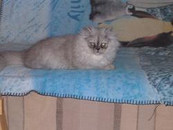 Daphnée, chat Persan
