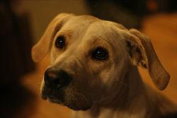 Daphnée, chien American Staffordshire Terrier