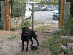 Darc, chien Labrador Retriever