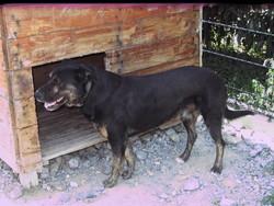 Darco, chien Rottweiler