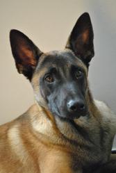 Darco, chien Berger belge