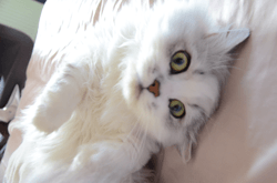 Darcy, chat Persan