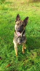Dario, chien Berger belge
