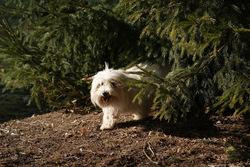 Darius, chien Coton de Tuléar