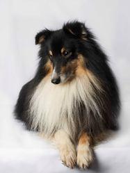 Darius, chien Berger des Shetland