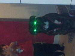 Dark, chien American Staffordshire Terrier