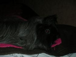 Dark, rongeur Cochon d'Inde