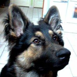 Dark, chien Berger allemand