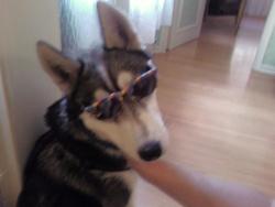 Dark Angel, chien Husky sibérien