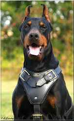 Darkoss, chien Dobermann