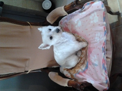 Darla, chien West Highland White Terrier