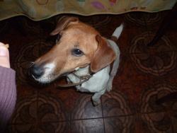 Darla, chien Jack Russell Terrier
