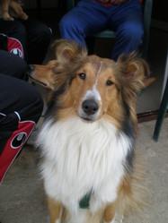 Darla, chien Colley à poil long