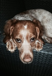 Darling, chien Épagneul breton