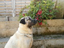 Darling, chien Berger d'Anatolie