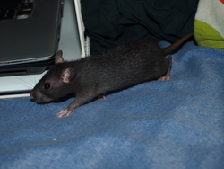 Darling Rip, rongeur Rat