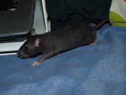 Darling Rip, rongeur Rat