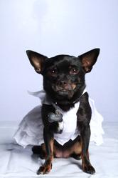 Darlyng, chien Chihuahua
