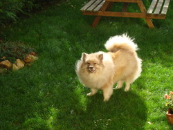 Darock, chien Spitz allemand