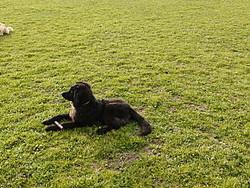 Darshan, chien Hovawart