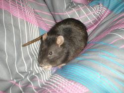 Dartagnan, rongeur Rat