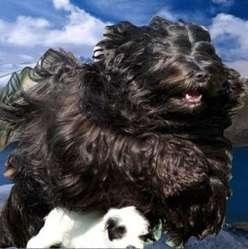Darweshen-Lamleh, chien Terrier tibétain