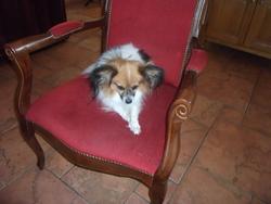 Darwin, chien Épagneul nain continental
