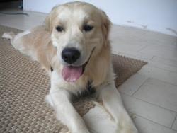 Darwin, chien Golden Retriever