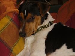 Darwin, chien Terrier brésilien