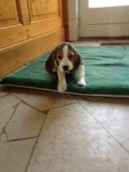 Darwin, chien Beagle