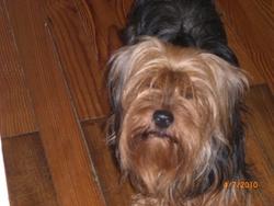 Daryl, chien Yorkshire Terrier