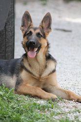 Daryl, chien Berger allemand