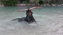 Dasco Vom Falke Koniglich, chien Rottweiler