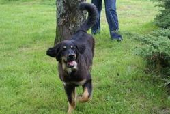 Dasco, chien Hovawart