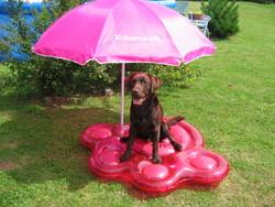 Dasko , chien Labrador Retriever