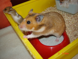Dasy, rongeur Hamster