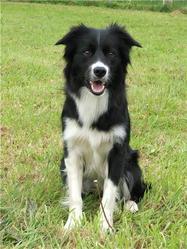 Davane, chien Border Collie