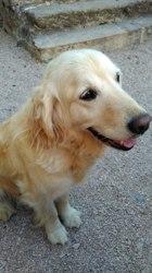 Davao, chien Golden Retriever