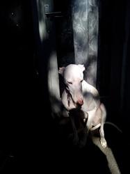 David, chien Lévrier espagnol