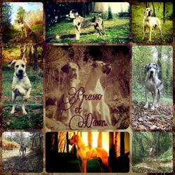 Dawn, chien Dogue allemand